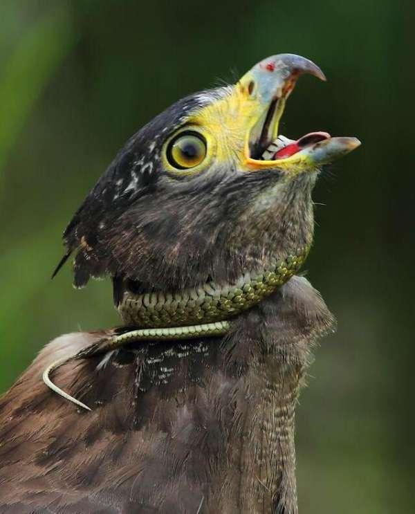 蛇雕在吃蛇的瞬间,被毒蛇缠绕脖子,结果还发生了这一幕!