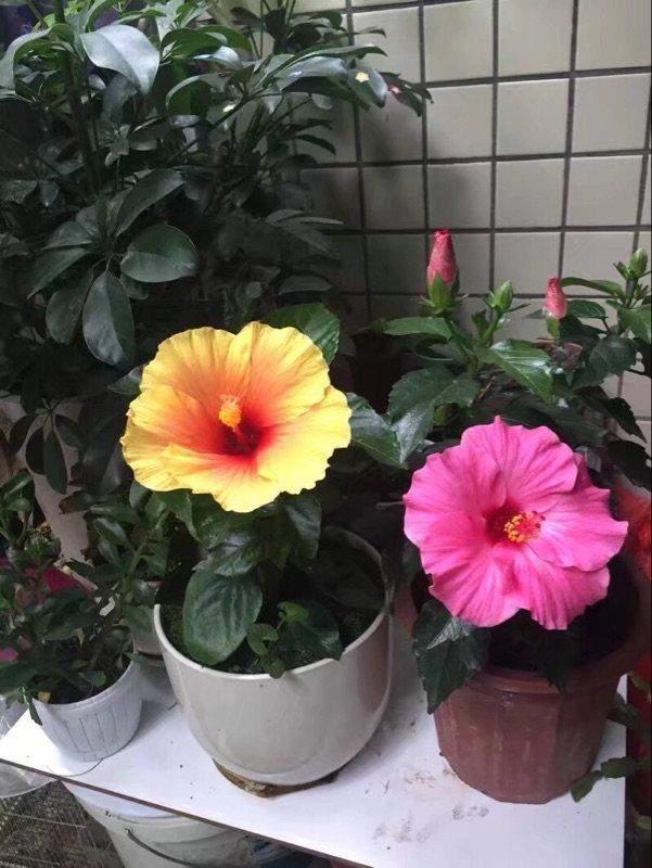 """此花叫""""中国蔷薇"""", 扔进花盆就能活, 四季花开不断, 南北都能种"""