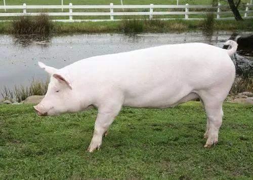 图片:京剧《盗魂铃》 野猪是如何变身家猪的呢 家猪sus scrofa