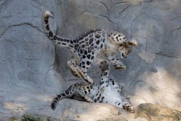 苏黎世动物园,八个月大的两只小雪豹在玩耍.