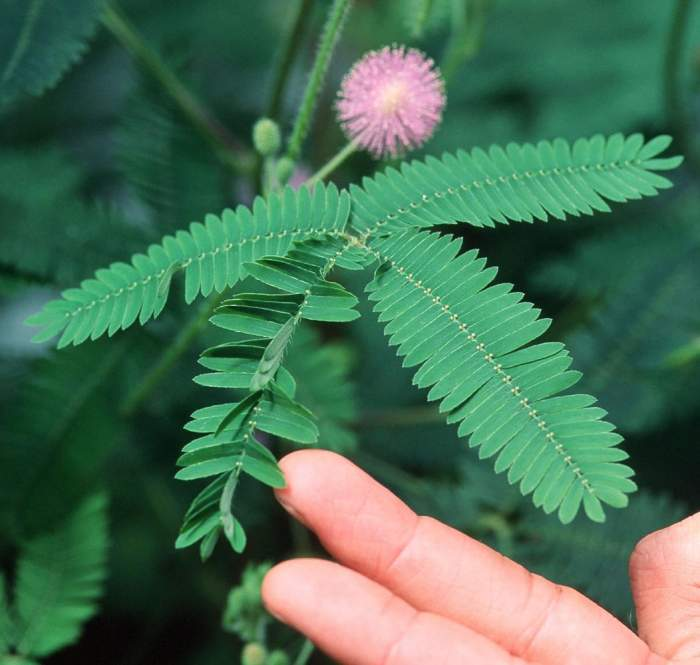 含羞草因为什么而害羞呢 能够引起含羞草叶子运动的刺激有很多种图片