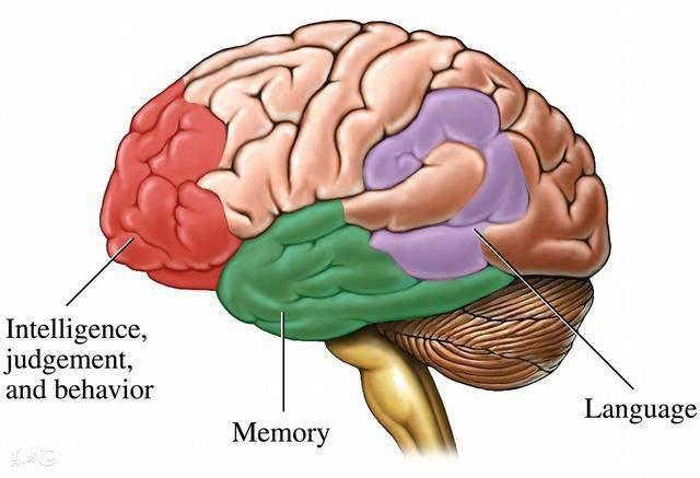 脑部外结构示意图