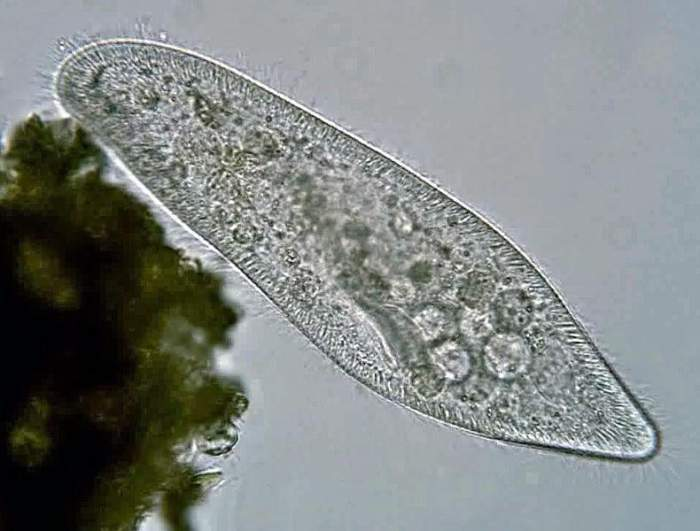 草履虫,我们生物课上都见过;图为今天的主角:大草履虫。图片:Deuterostome / wikipedia 显微镜下的超小萌物 大草履虫可以算是草履虫中身材比较大的一种了,但是依然很小,最大的个体约有0.3毫米长,在水中游泳时勉强能够看到是个小点,想看清身体构造的话就要上显微镜了。