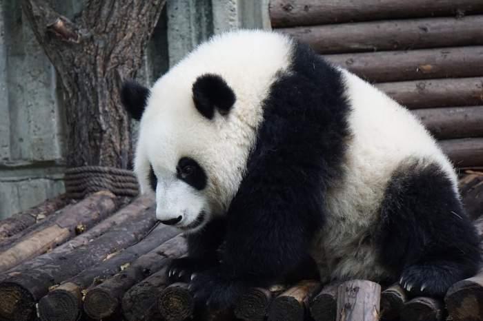 """mg电子游戏哪个容易赢:""""养不起"""",_1年60万美元,_马方送还熊猫,_马来很穷吗?"""