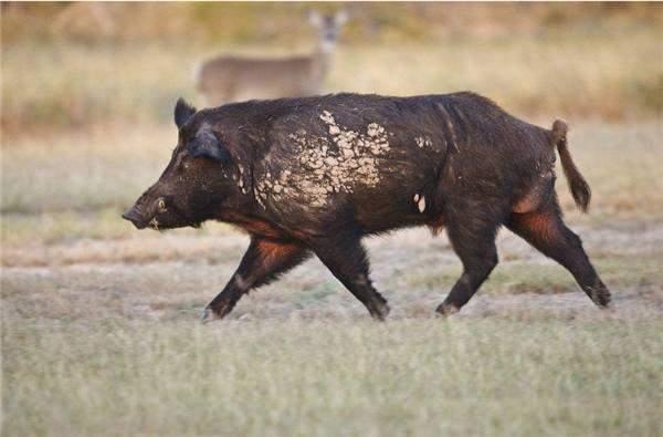 [转载]美国人好奇: 在中国的野猪会像美国一样泛滥吗?