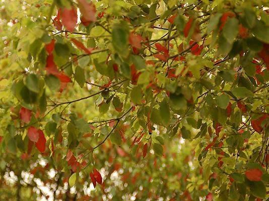 让人爱恨交加的良木 常绿树相对于落叶树,其实并不是一辈子不落叶