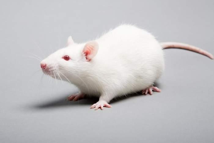 """你可知首席实验动物""""小白鼠"""",未必是白色的?"""