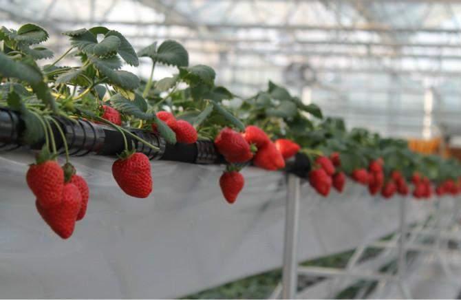 草莓立体种植, 年产值竟然达百万 - 智慧农夫 - 智慧农夫