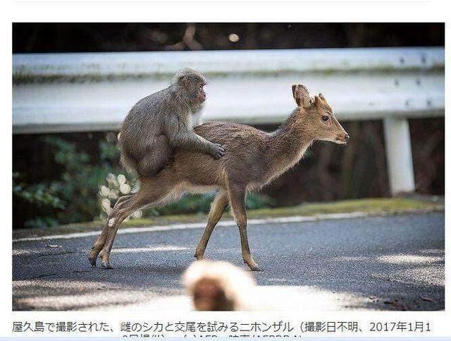 跨物种交配:一只猴子和梅花鹿做羞羞的事情