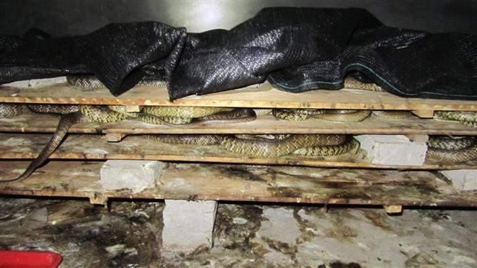 蛇箱是养蛇场用于养蛇的主要设备之一,通常是用木板制作的,也可以用铅丝网、铁纱网、玻璃和铝型材料制作,有的养蛇场为了节约资金,还可以就地取材用砖石或水泥制作。根据蛇箱的用途,可以分为暂养箱、养殖箱、栖息箱和专业箱等。其中暂养箱是临时暂放蛇用的,主要是用于少量养殖或进行科学研究而用的设备,大小可以根据蛇的种类和大小而定,通常箱的体积以1个立方为宜。养殖箱是养殖成蛇的专用设备,体积在3个立方左右为宜。栖息箱是专供蛇类栖息的设备,体积以0.5个立方为宜。专业箱就是专门用于养殖特定的蛇的,比如幼蛇专用箱、繁殖专用箱
