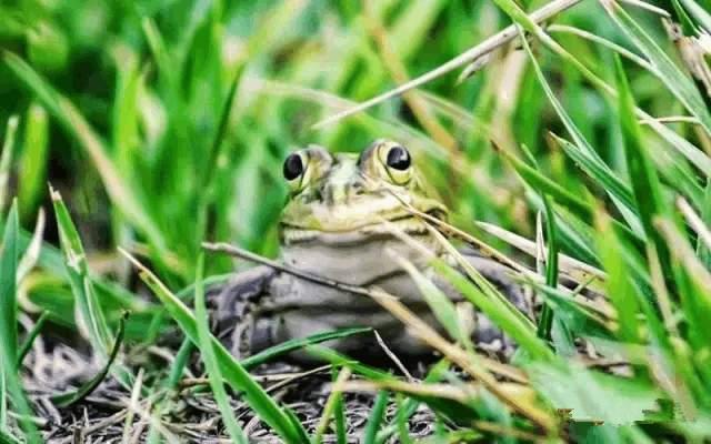 """总会到池塘边、稻田边去听青蛙的叫声,""""呱-呱-呱""""这美妙的叫声,"""