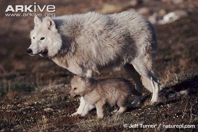 狼���dy��Z9�*�]_狗是永远长不大的狼,那,我可以养狼吗?