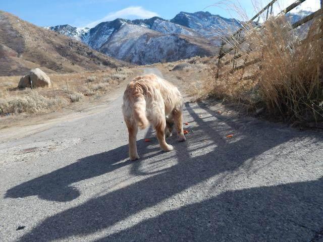 宠物与生活-金毛受伤半路拦截车辆,金毛真聪明