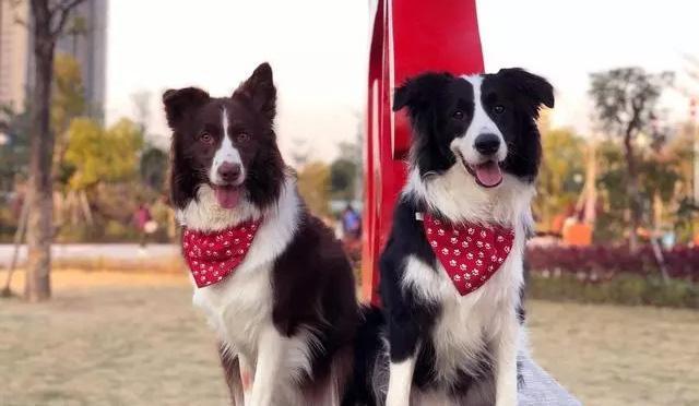 宠物咨询-边境牧羊犬好养吗?如何正确饲养边境牧羊犬