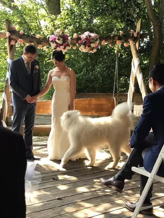 宠物信息发布-萨摩耶参加婚礼当花童, 网友:养只哈士奇试试