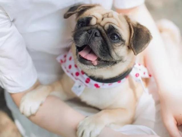 宠物店加盟-巴哥犬好养吗?正确的饲养巴哥犬及注意事项