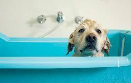 宠物咨询-狗洗澡后很兴奋的原因