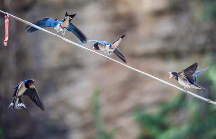 春天燕子从南方回归,返回旧巢的还是去年的燕子吗
