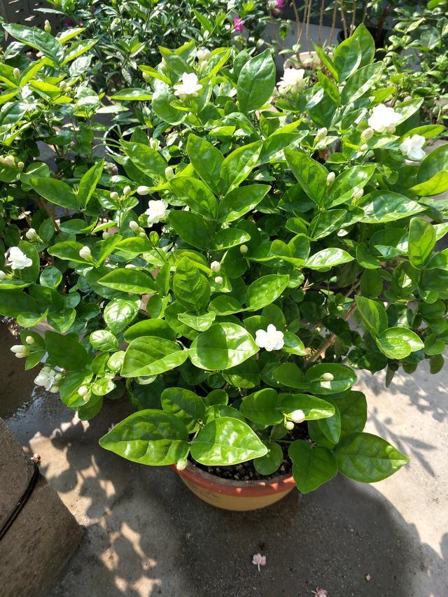 茉莉花修剪养护四季各不同,掌握好技巧,才能花开满枝