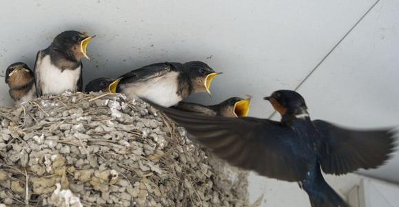 小时候经常看到的燕子,为什么现在这么少见,海虹医药网