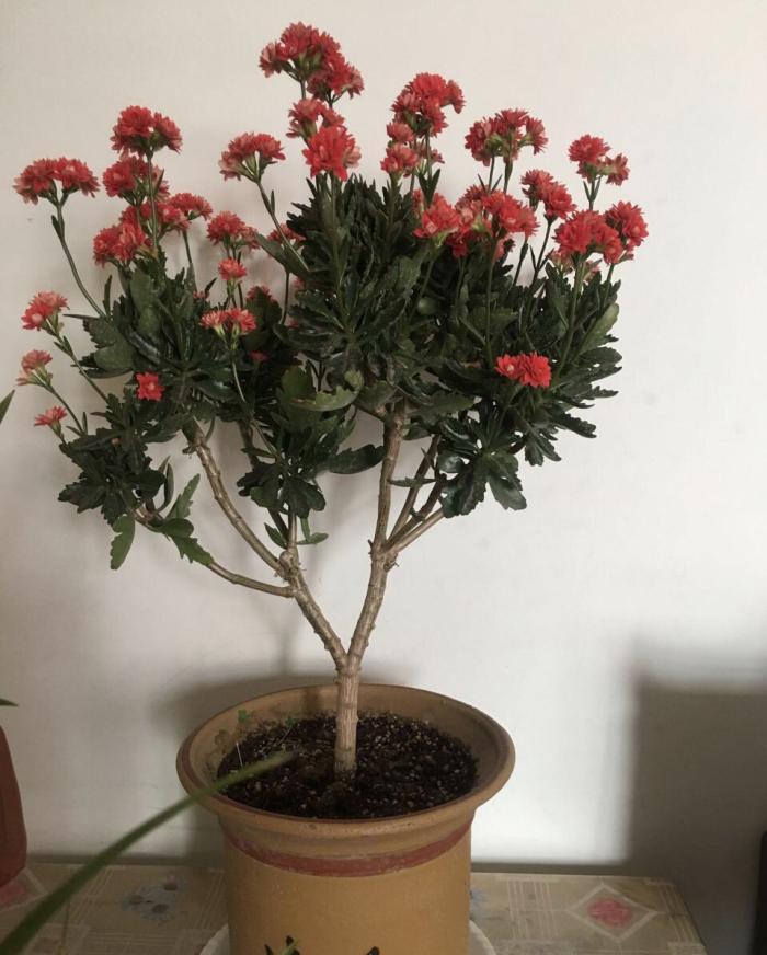 长寿花越老、开花越少!教你3个方法,让家里一直有长寿花