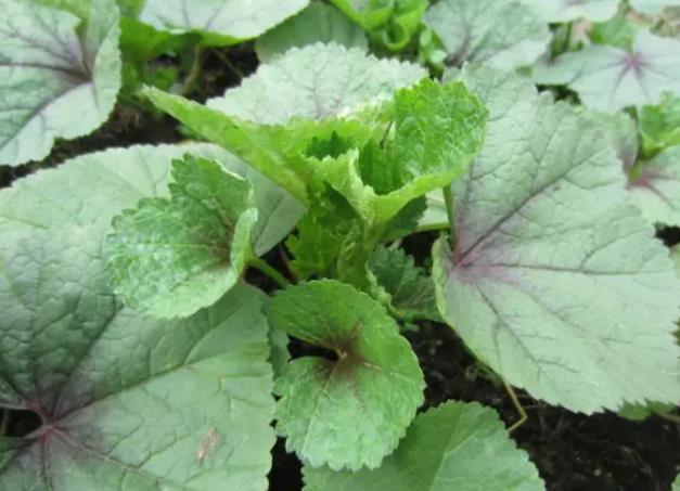 """这种蔬菜抗寒力强,可多次采收,人称""""冬寒菜"""",你吃过吗?"""