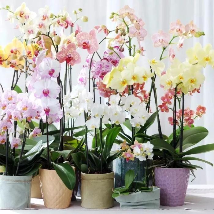 蝴蝶兰的养护小贴士,在室内养着如何让它每年开花?