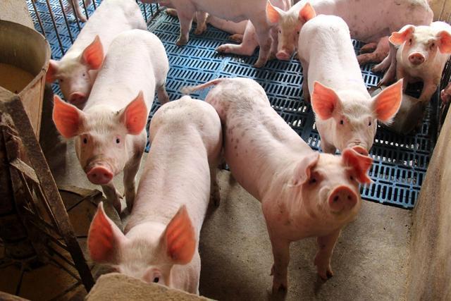 """9月12日猪价:跌势再扩大,全国一片绿,生猪市场要""""变天""""?"""