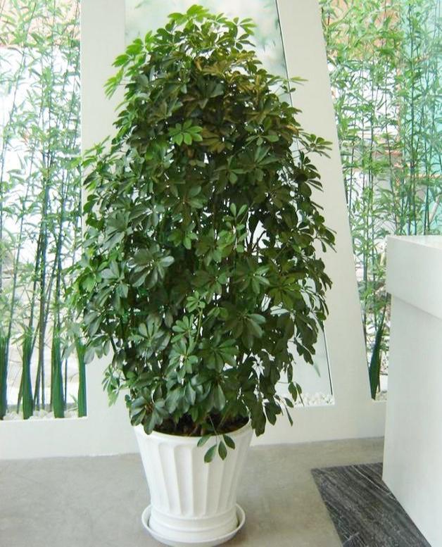 鴨掌木又叫招財樹,就用這個法子養,嗖嗖冒新芽,郁郁蔥蔥一大盆