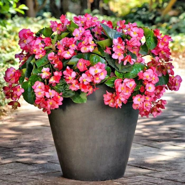 春天养一盆四季海棠,四季开花不停!