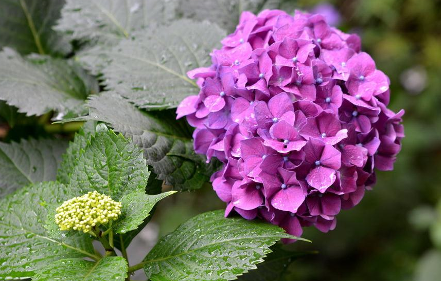 绣球花是一种美丽的植物,教你这样修剪,确保开花茂盛