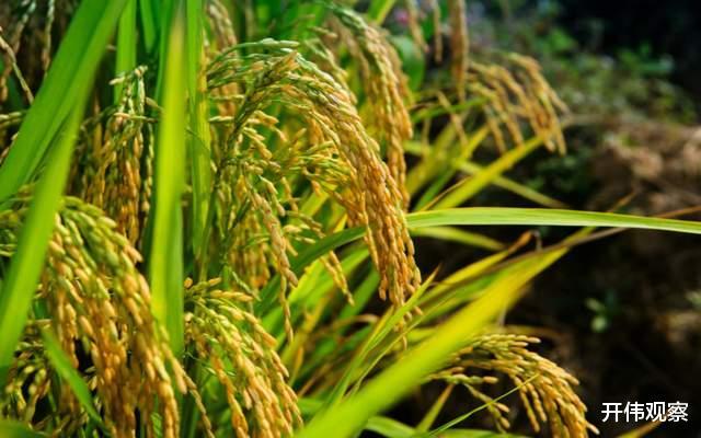 杂交水稻给社会经济发展带来哪些贡献?