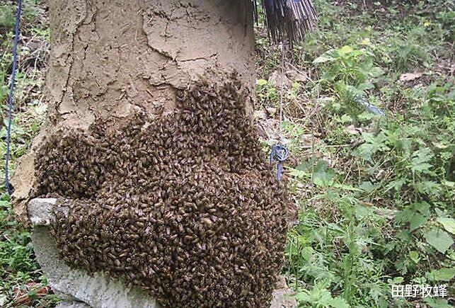 真的野蜂蜜会有什么味道? 野蜂蜜的口感