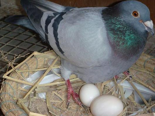 鸽子蛋的营养价值-吃鸽子蛋的好处