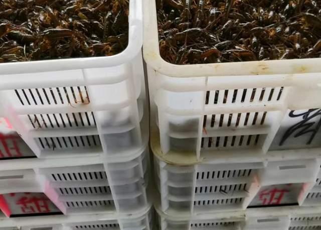 优质健康的小龙虾苗种如何选择