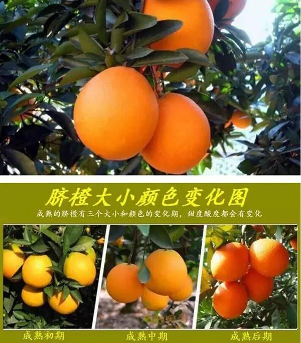 来自赣南果农大山深处的问候,买点好脐橙,顺便帮果农