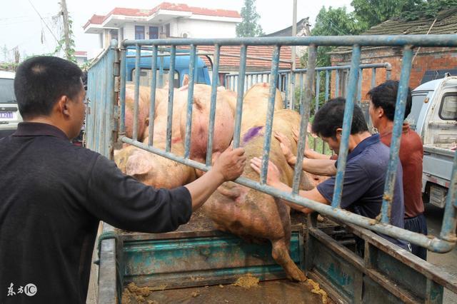 生猪价格低你就能吃上便宜猪肉了? 你低估了他们的贪婪!