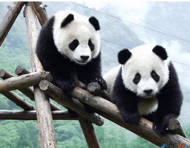 大熊猫的数量为什么会这么少?