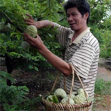 南方农村特有的释迦果, 稀奇到超市卖30块一斤