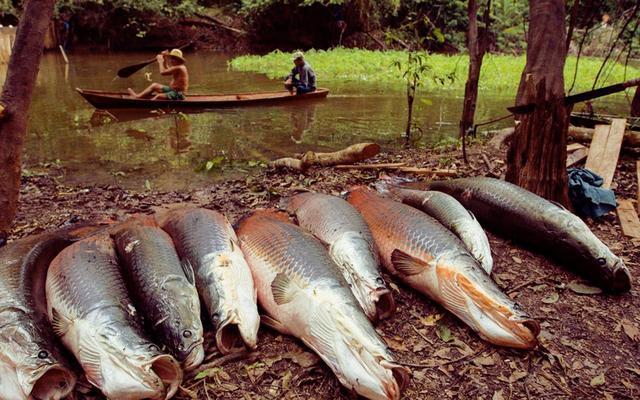 天球上最年夜的浓火鱼, 被人吃成活化石, 纯种行将灭尽