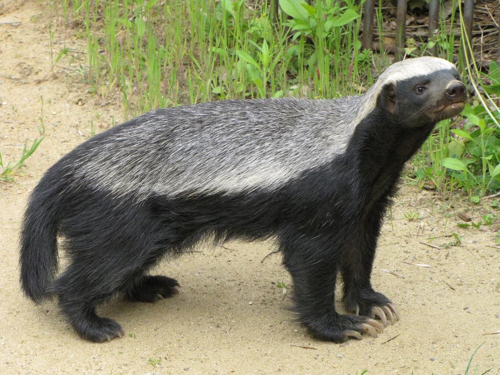 蜜獾的凶猛在自然界众所周知,非洲豹捉到它也至少要用1小时才能将它
