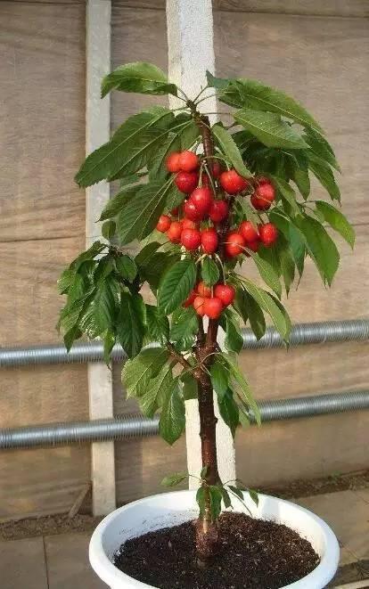 教你在家简单种植盆栽樱桃, 能看还能吃图片