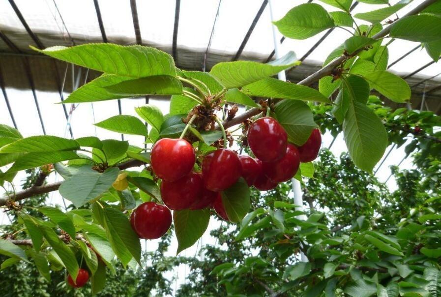 你在家简单种植盆栽樱桃, 能看还能吃图片