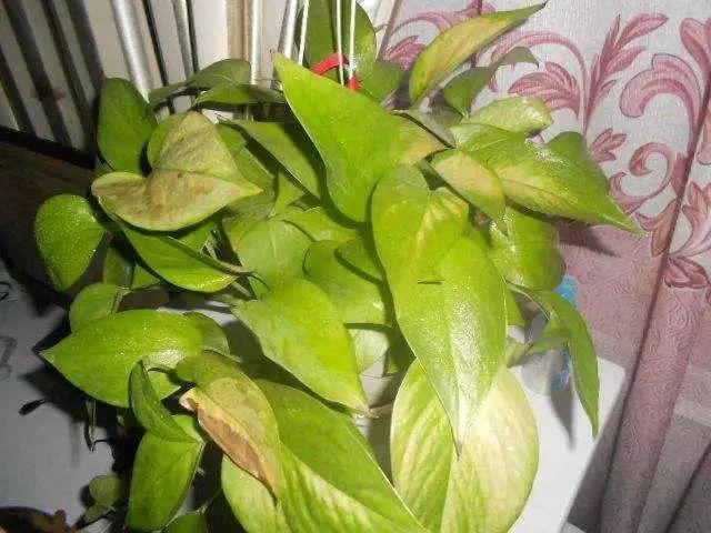 绿萝叶子腐烂发黄要这样处理, 不用几周就能枝繁叶茂了