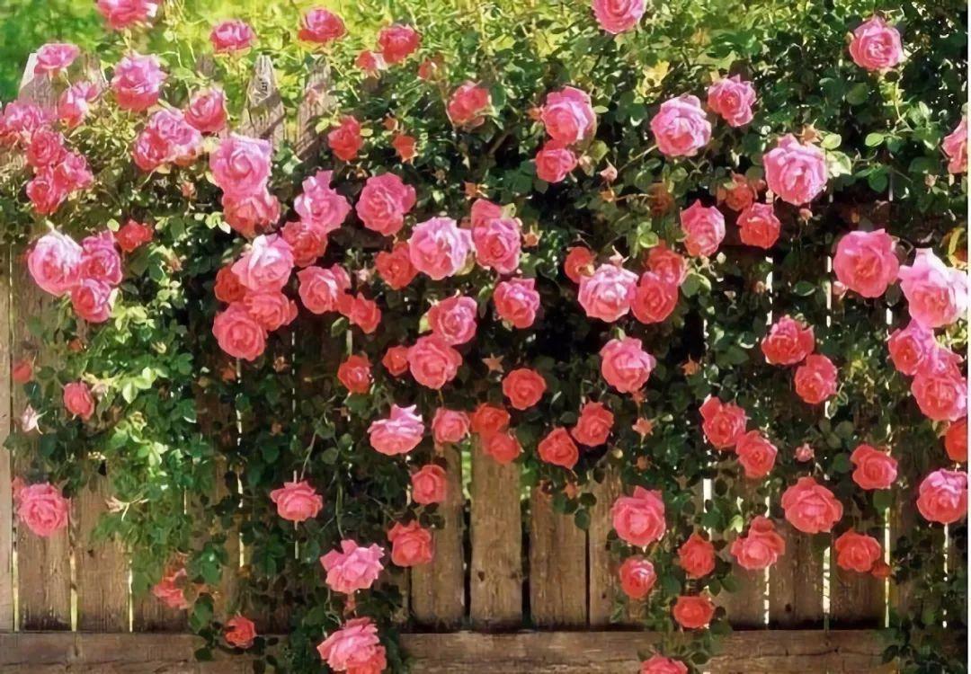 就位于昆明湖路研究生楼附近 绚烂绽放的蔷薇花肆无忌惮的铺满整面墙