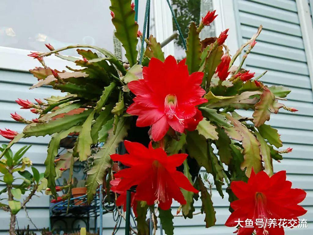 令箭荷花用吊盆养在门口长出莲花一般大的花朵