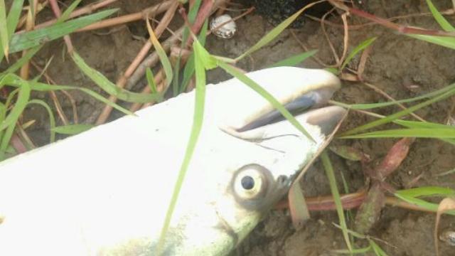 水库被人放生鱤鱼, 老板急得直跺脚, 谁能钓起免费送