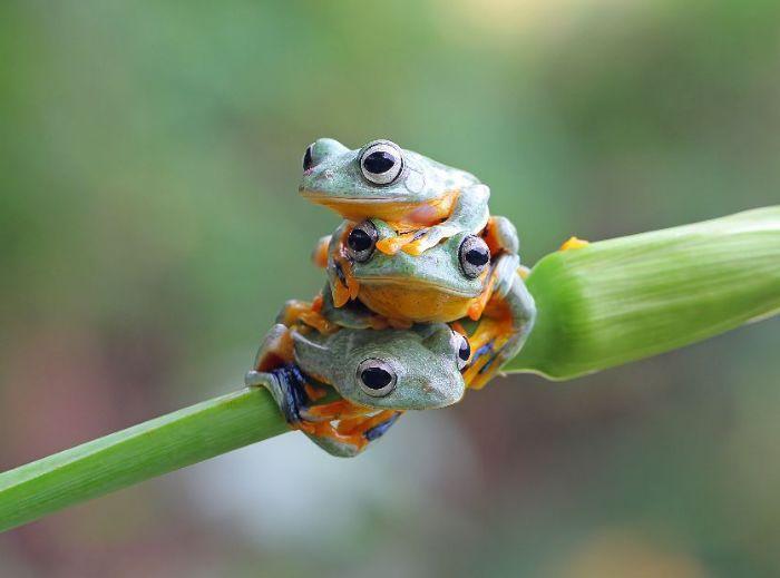 """这种树蛙有毒吗? 巧见三只小萌树蛙""""叠罗汉"""""""