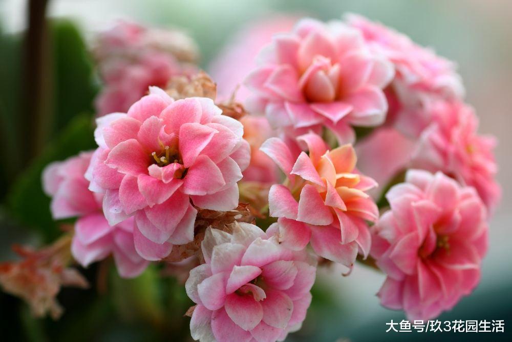 家居养花之年宵花新秀――长寿花