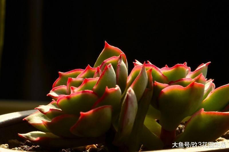 家居养花之多肉植物――月光女神